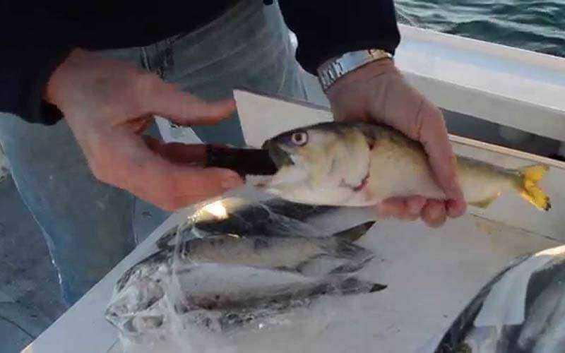 Zombait заставит мертвую рыбу снова плавать